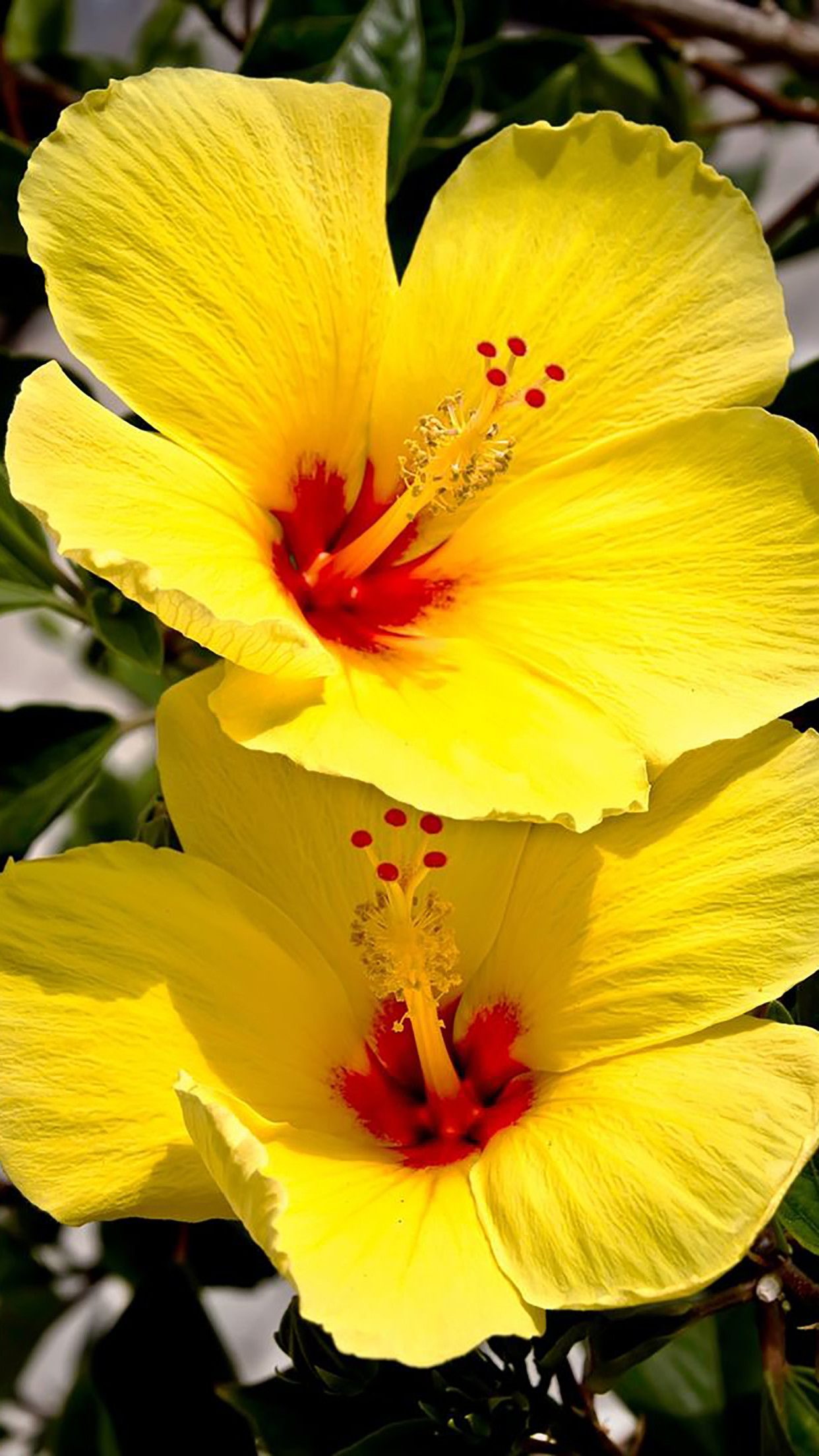 Hibiscus Flower Wallpaper For Iphone 3d Wallpapers Amazing Flowers Hibiscus Plant Yellow Hibiscus