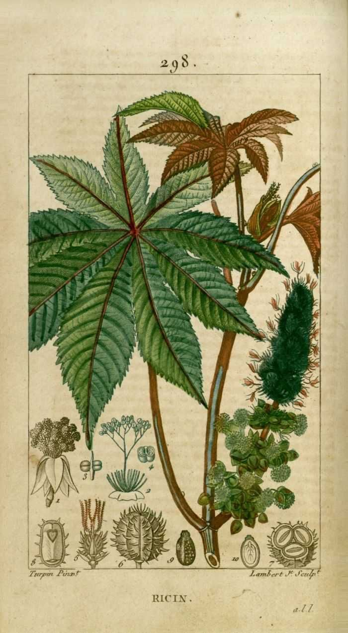 Img Dessins Gravures De Plantes Medicinales Ricin Jpg