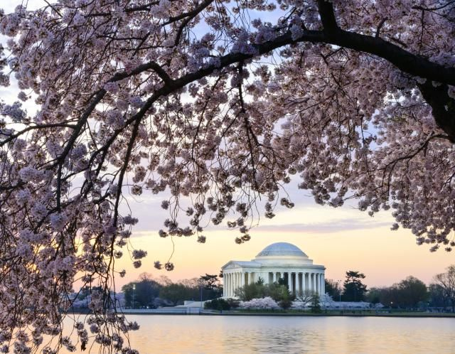 See A Map Of The Cherry Blossoms In Washington Dc Cherry Blossom Washington Dc Cherry Blossom Washington Dc Travel