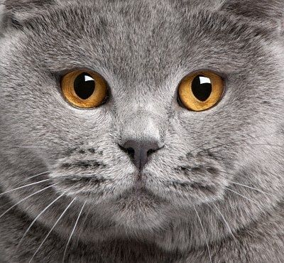 Stock Photo Cats, British blue cat, British shorthair