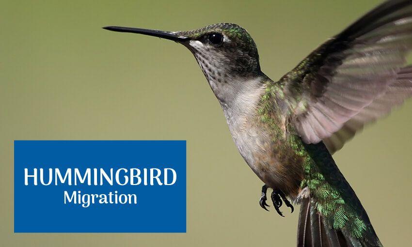 Do Hummingbirds Sleep If So How Hummingbird Hummingbird Migration Hummingbird Nectar