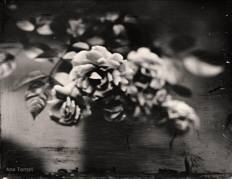 Roses in the Breeze 18x24 cm Tintype June 2013 © Ana Tornel