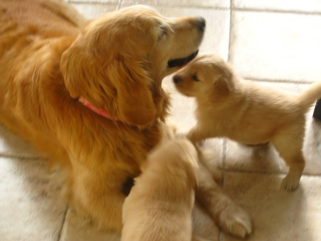 Welcome To Brookhill Golden Retrievers Website Golden Retriever
