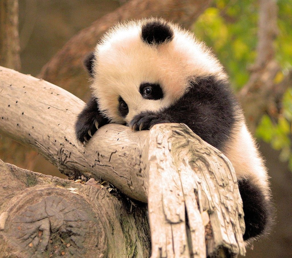 Download Hd Wallpapers Of 162925 Panda Animals Baby Animals Branch Free Download High Quality And Widescreen Animals Beautiful Cute Animals Cute Creatures
