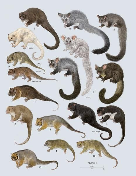 Family Pseudocheiridae Ring Tailed Possums And Greater Gliders
