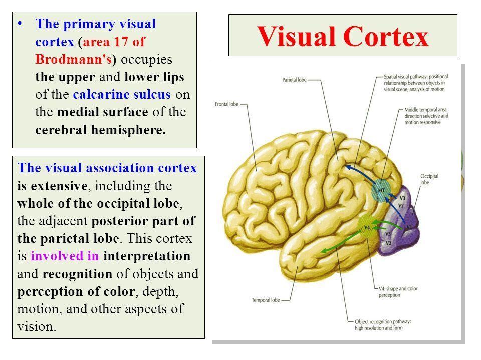 Visual Cortex The primary visual cortex (area 17 of ...