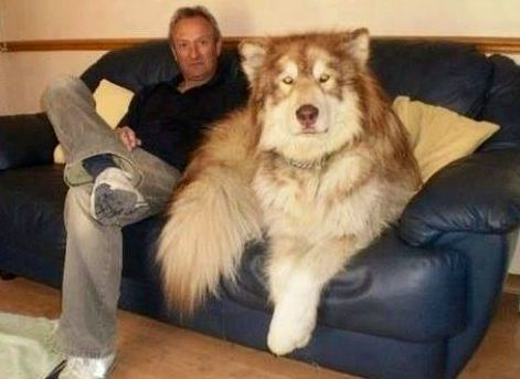 Hybrid Timberwolf Husky Mix Beautiful Dog Cute Animals Funny