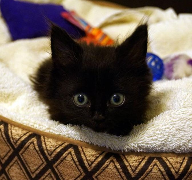 Lincoln: Quadrapelegic Kitten Learns to Walk-God Bless everyone who helped this wonderful little kitty. :)