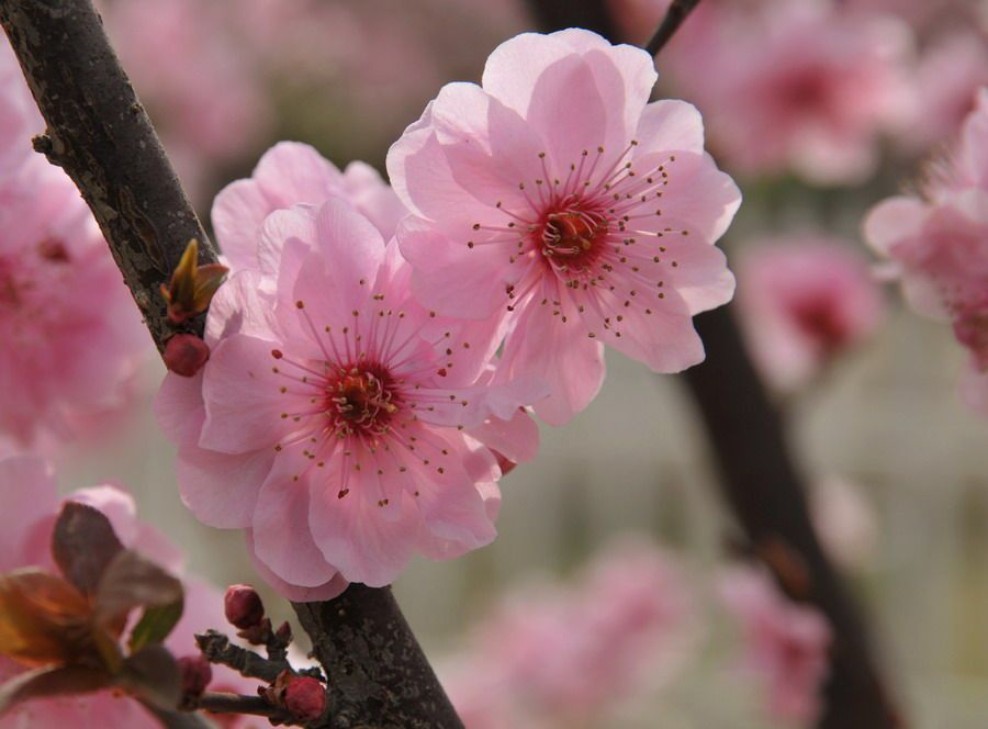 March 3rd is Peach Blossom Day, a celebration started in
