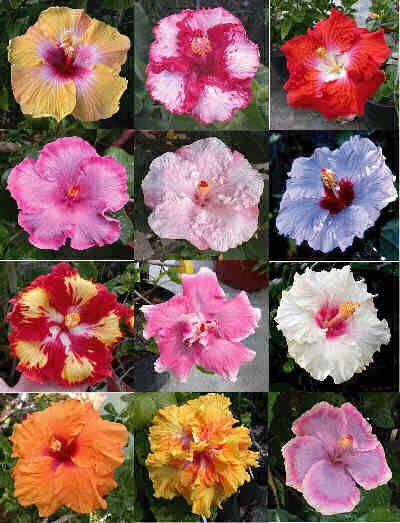 Hibiscus Growing Hibiscus Hibiscus Plant Hibiscus Flowers