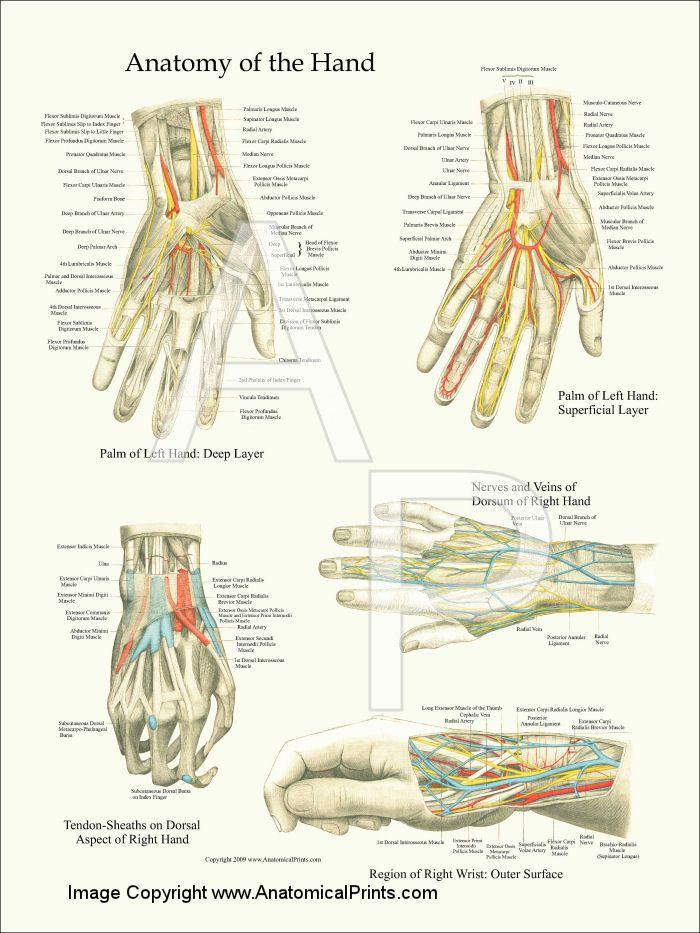Hand and Wrist Anatomy Poster 18\