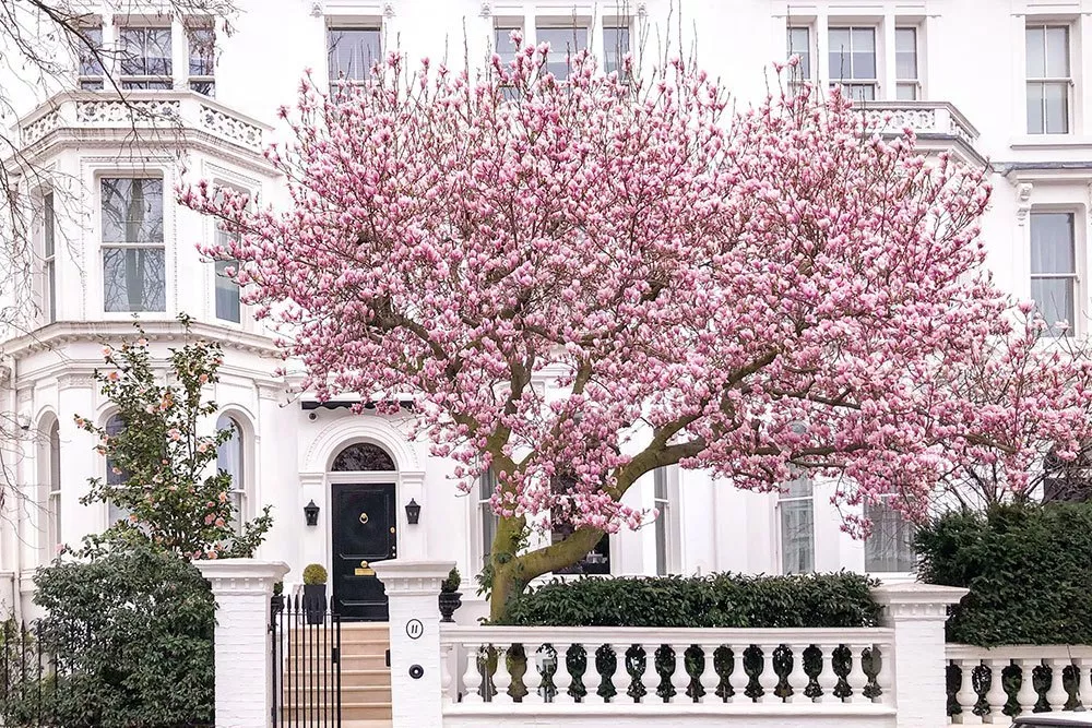 Where To See Magnolia And Cherry Blossom In London Printable Guide And Map Cherry Blossom Magnolia Trees Blossom Garden