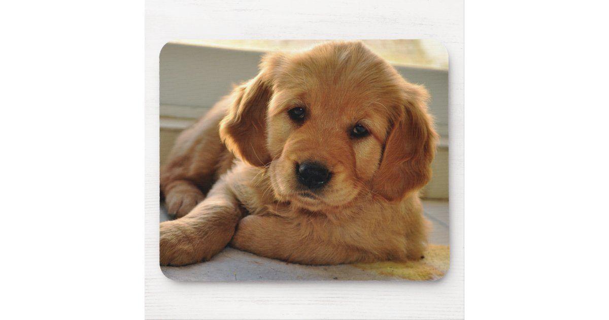 Adorable Baby Adorable Golden Retriever Puppies In 2020 Golden Retriever Retriever Puppy Retriever