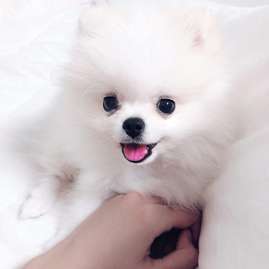 Pompom おしゃれまとめの人気アイデア Pinterest Mirella Petruzzelli 動物 かわいい ペット 犬