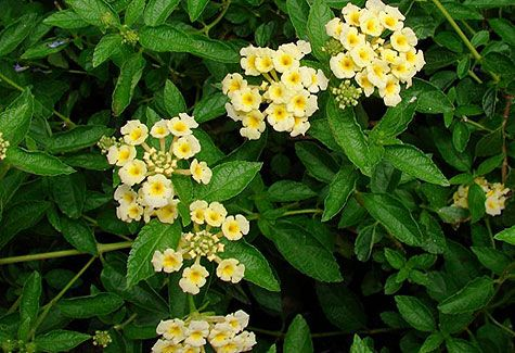 Pineland Lantana Plant Outdoors Gardens Plants Rainforest