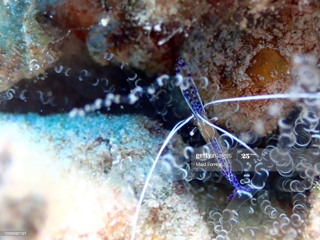 Pederson S Cleaner Shrimp Sunset House Grand Cayman In 2020 Grand Cayman Shrimp Cayman