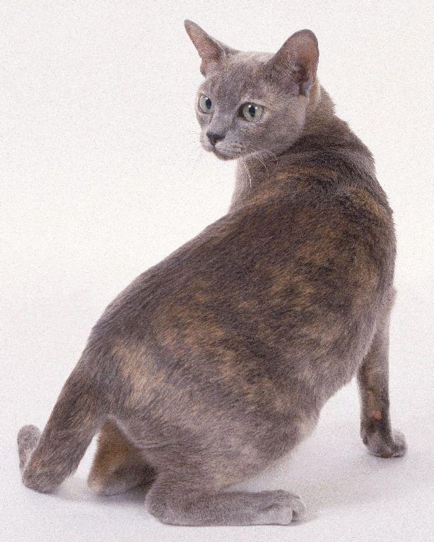 Blue Tortie Burmese Cat Burmese Cat Grey Cats Cats And Kittens