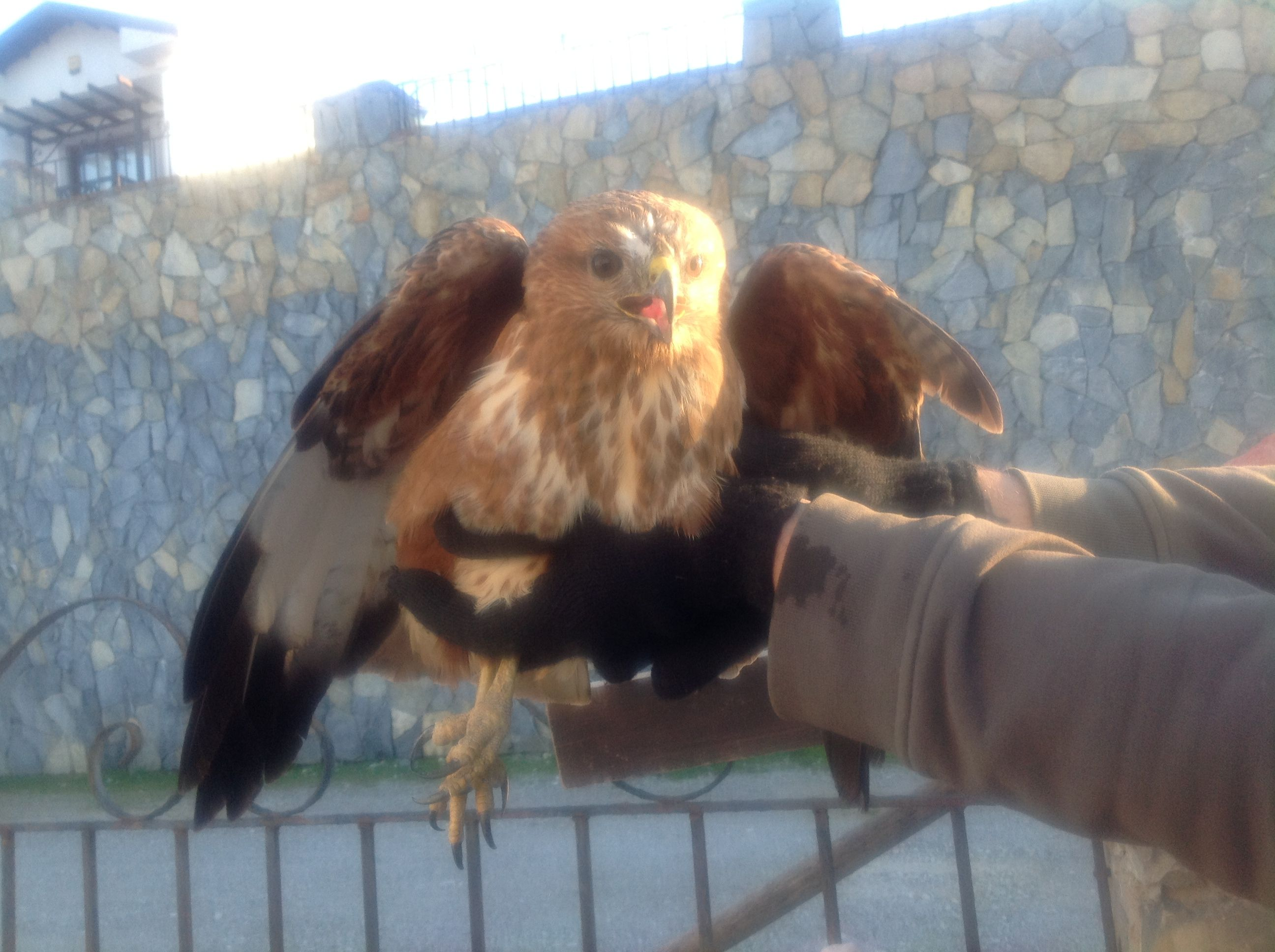 Injured Hawk. Cared fr it a few days then released it back to the wild, where it was found, no idea exact kind of Hawk.