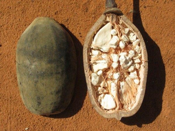 Warum Ist Die Baobab Frucht Gesund Und Wie Kann Man Sie Zubereiten
