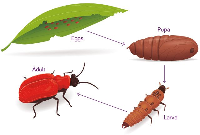Life Cycle The Red Lily Beetle The Boy Fitz Hammond Gardening