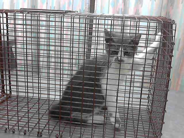 IDA410452. Gray and White DSH. Arrived July 10, 2014