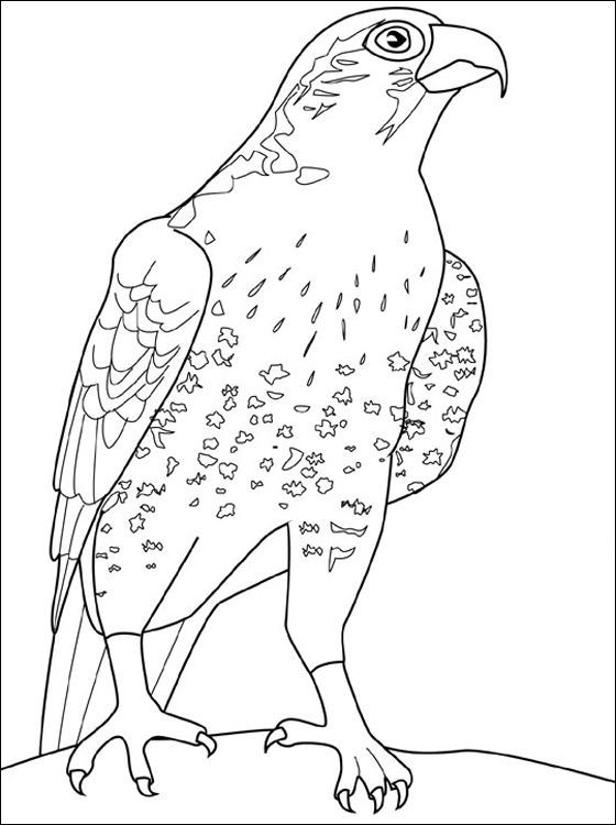ausmalbilder falke kostenlos  vogel malvorlagen