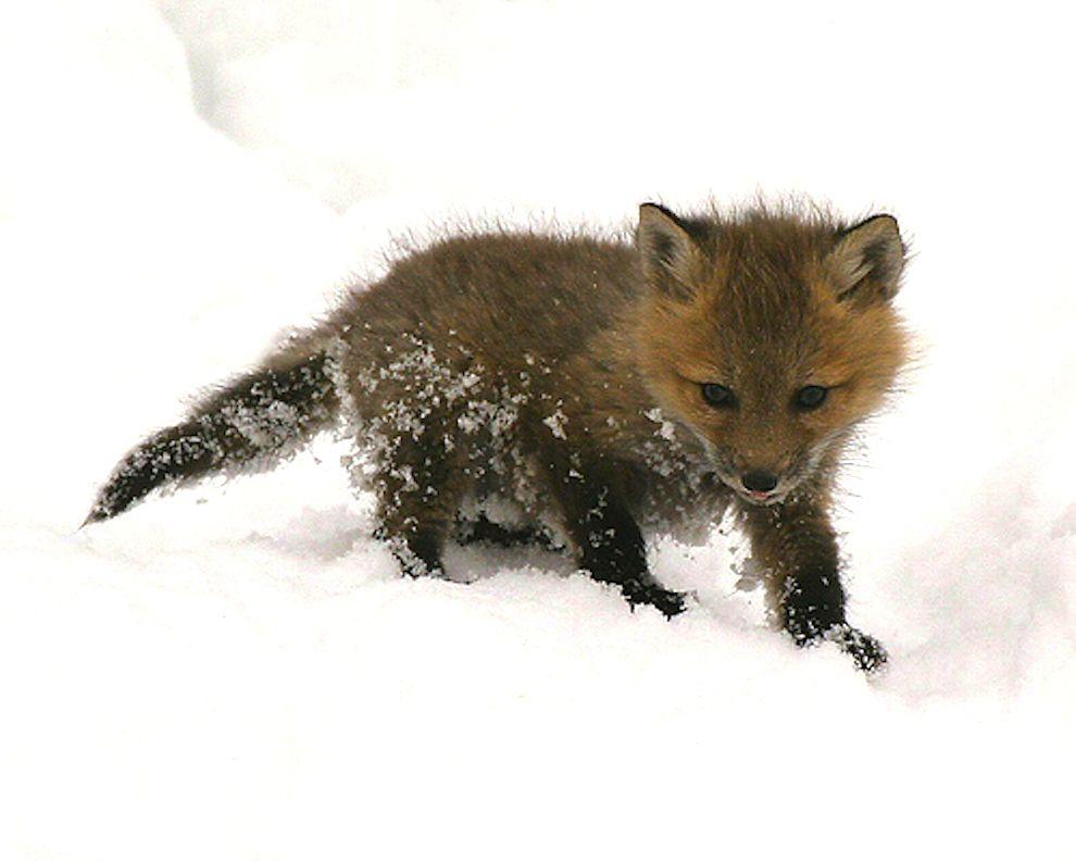 B b renard les animaux trop mignons eml pinterest - Renard mignon ...