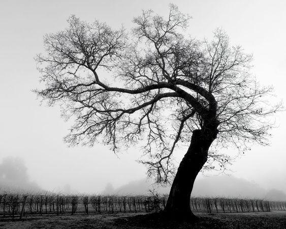 sonoma foggy morning.