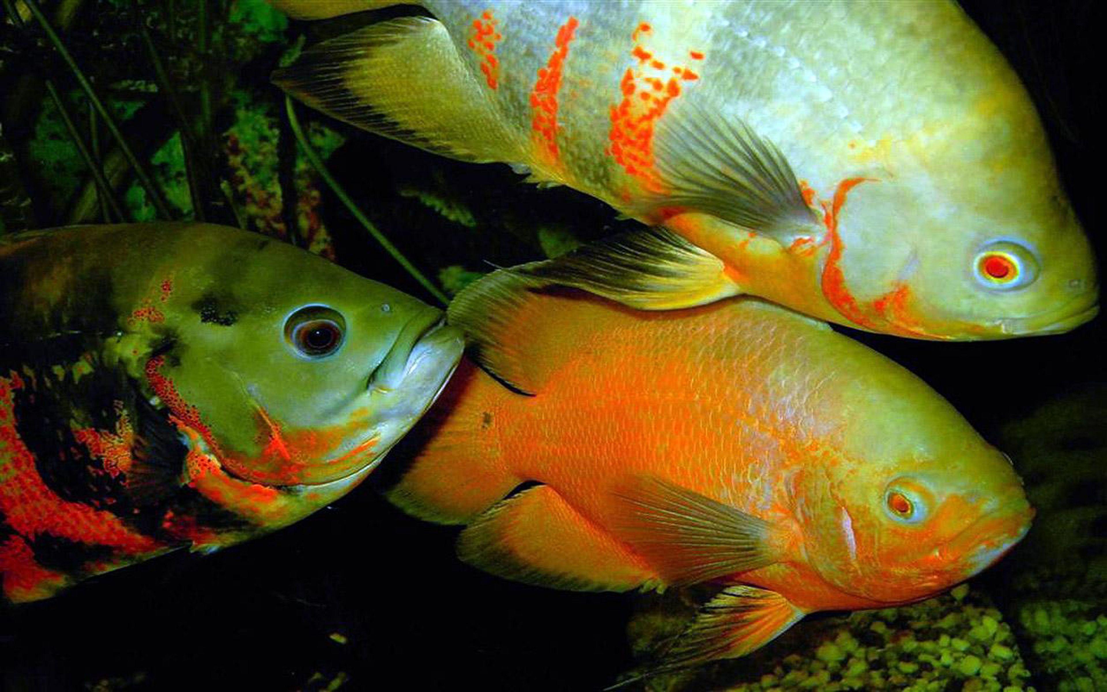Clown Fish Live Wallpaper Download Clown Fish Live Wallpaper