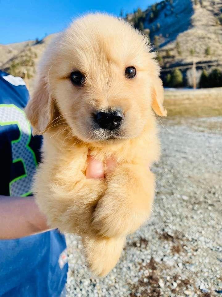 Photo of Cavapoo Puppies: Information, Characteristics, Facts, Videos #cavapoo #cavapoopuppies #cutepuppies #
