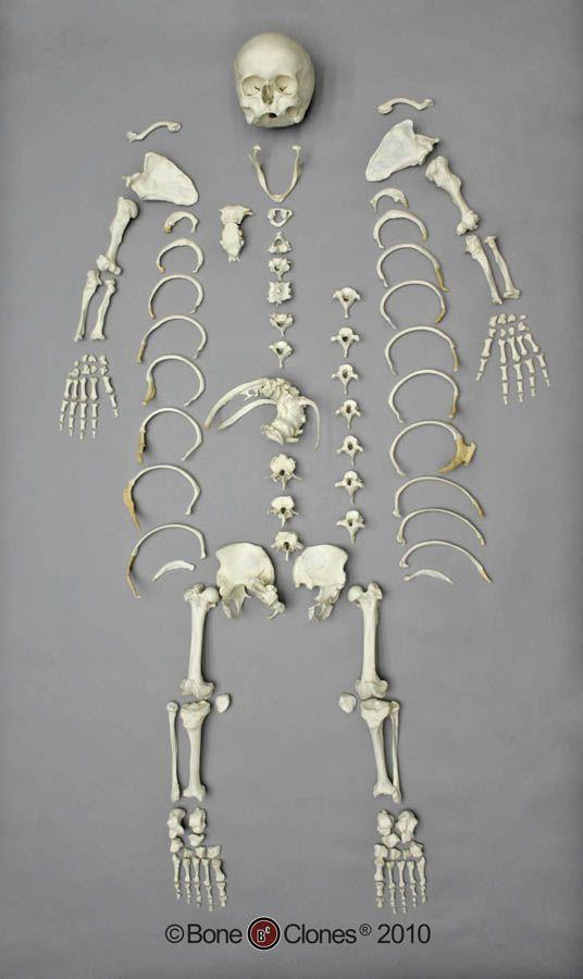 Human Skeleton | Mictecacihuatl Concept Board | Pinterest ...