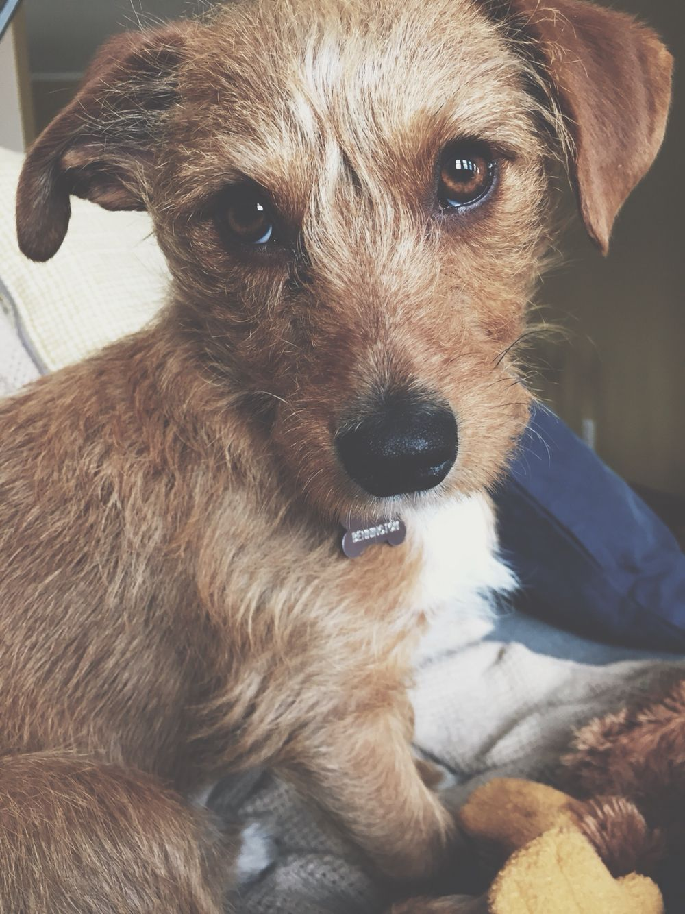 Our little rescue dog, a wirehaired dachshund mix. Just