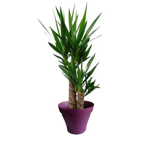 Yucca 2 troncs avec cache pot violet   Plantes d\'intérieur avec pots ...
