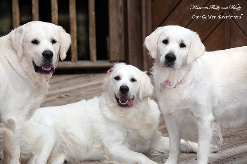 White Golden Retriever Puppies Ct Akc Certified Holistic Nj Md Ma Pa De Ny Ca Az Tx Nh Ri Oh Vt English Retriever Puppy
