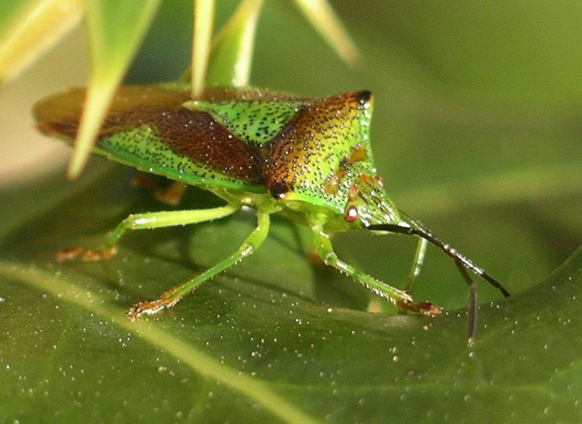 In Defense of the Stink Bug (OpEd) Stink bugs, Shield