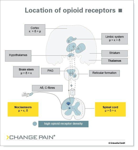 Opioid ReceptorsJpg   Medicina