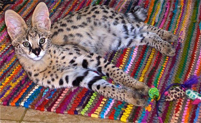 Breeders of Top Quality Savannah and Bengal Cats - Jacarandacats.com