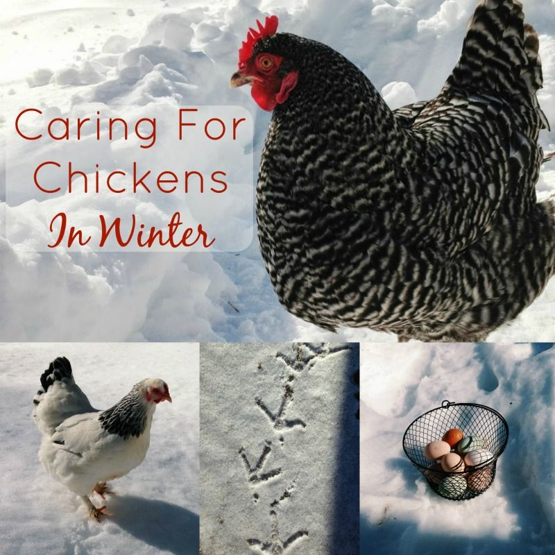 Caring For Chickens in Winter | Chickens in the winter ...