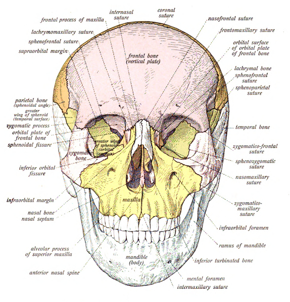 There are 29 bones (hyoid included) in the human skull, and for many ...