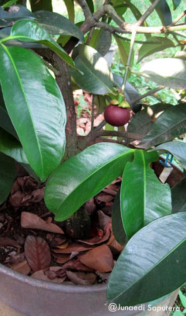 Manggis/Mangosteen Collection Taman Buah Mekarsari Grow in a