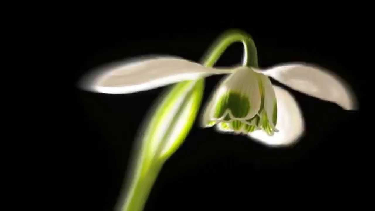 Galanthus Nivalis Ophelia Flower Opening Time Lapse Flowers Ophelia Floral Rings