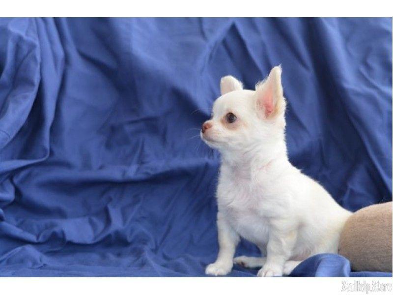 Chihuahua Dallas Miniature Puppies 22 Chihuahua Dallas