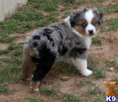 Miniature Aussies For Sale In Texas Texas Miniature Australia