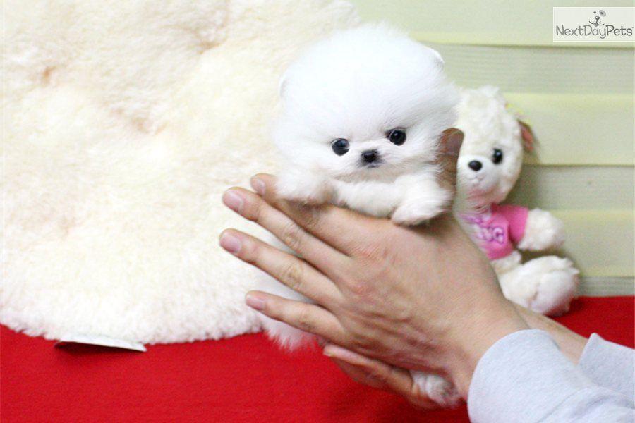 Meet Snowman A Cute Pomeranian Puppy For Sale For 6 500 Lil