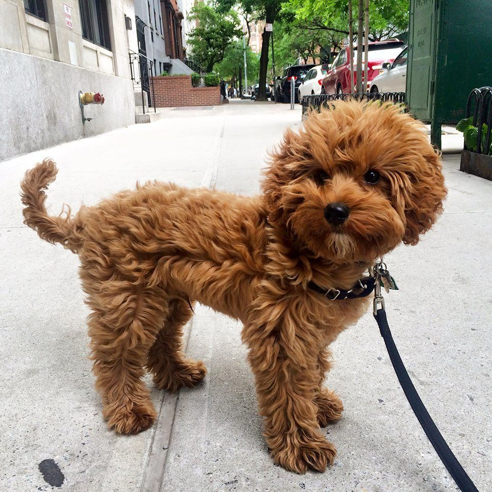 Pin by Anne welch on Poodles Calm dog breeds, Mini