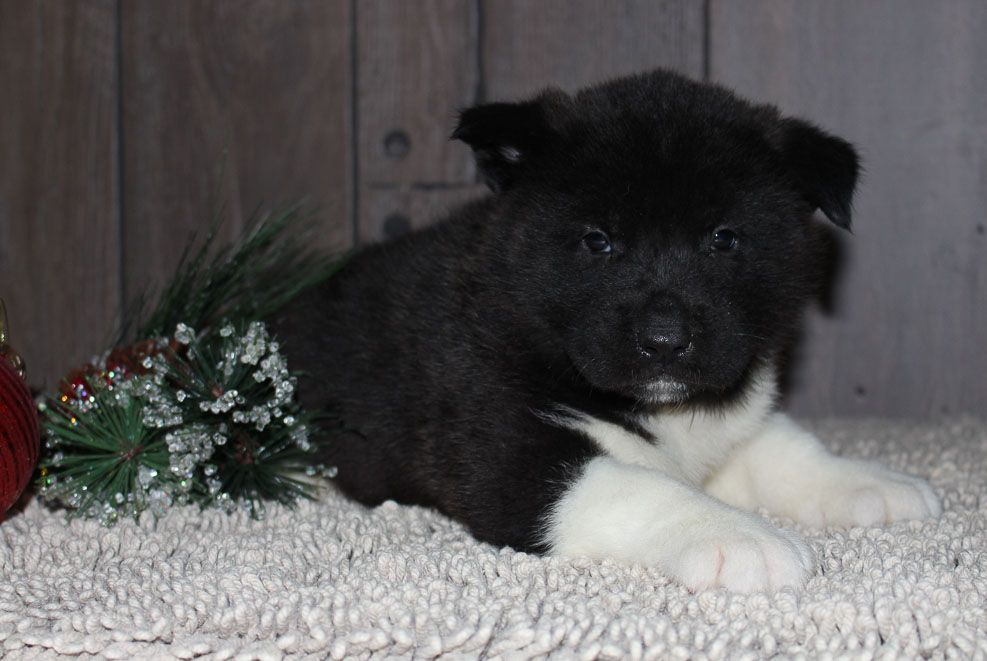 Ace A Male Akc Puppy For Sale In New Haven In Puppies For