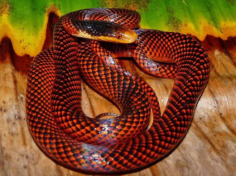 Yellow Headed Calico Snake Oxyrhopus Formosus Snakes