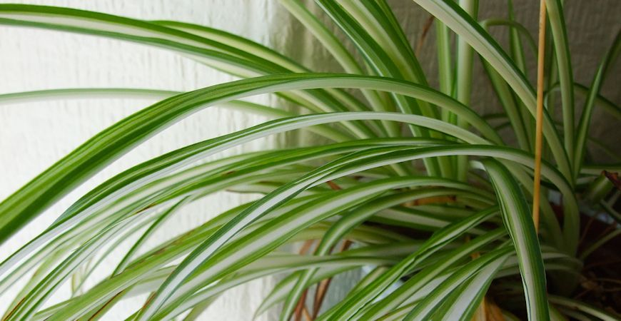 top tips for taking care of your spider plant green thumb plants spider plants types of. Black Bedroom Furniture Sets. Home Design Ideas