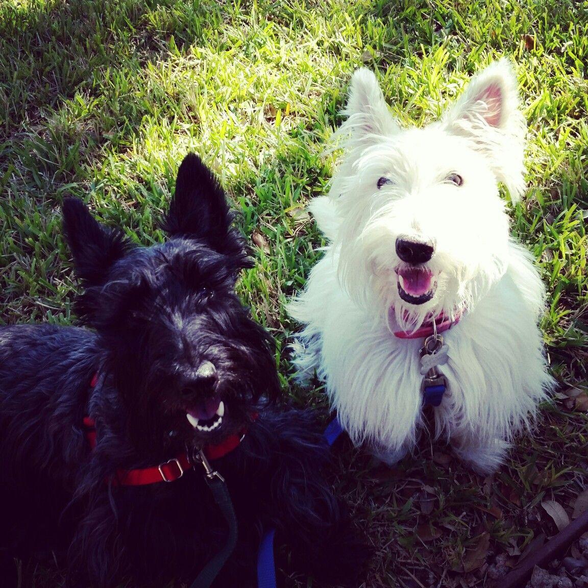 Scottie cutie in Texas Scottish terrier, Scottie, Terrier