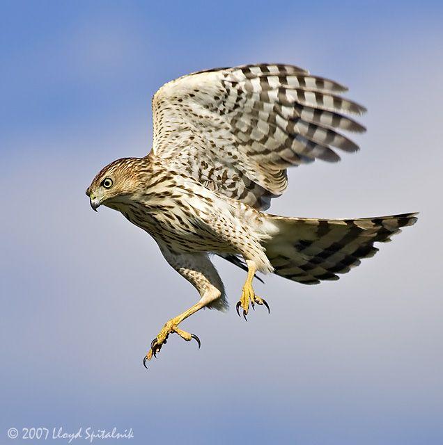 Cooper S Hawk Cooper S Hawk Birds Of Prey Wild Birds